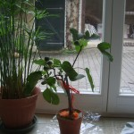 Our new fig tree and how to grow figs