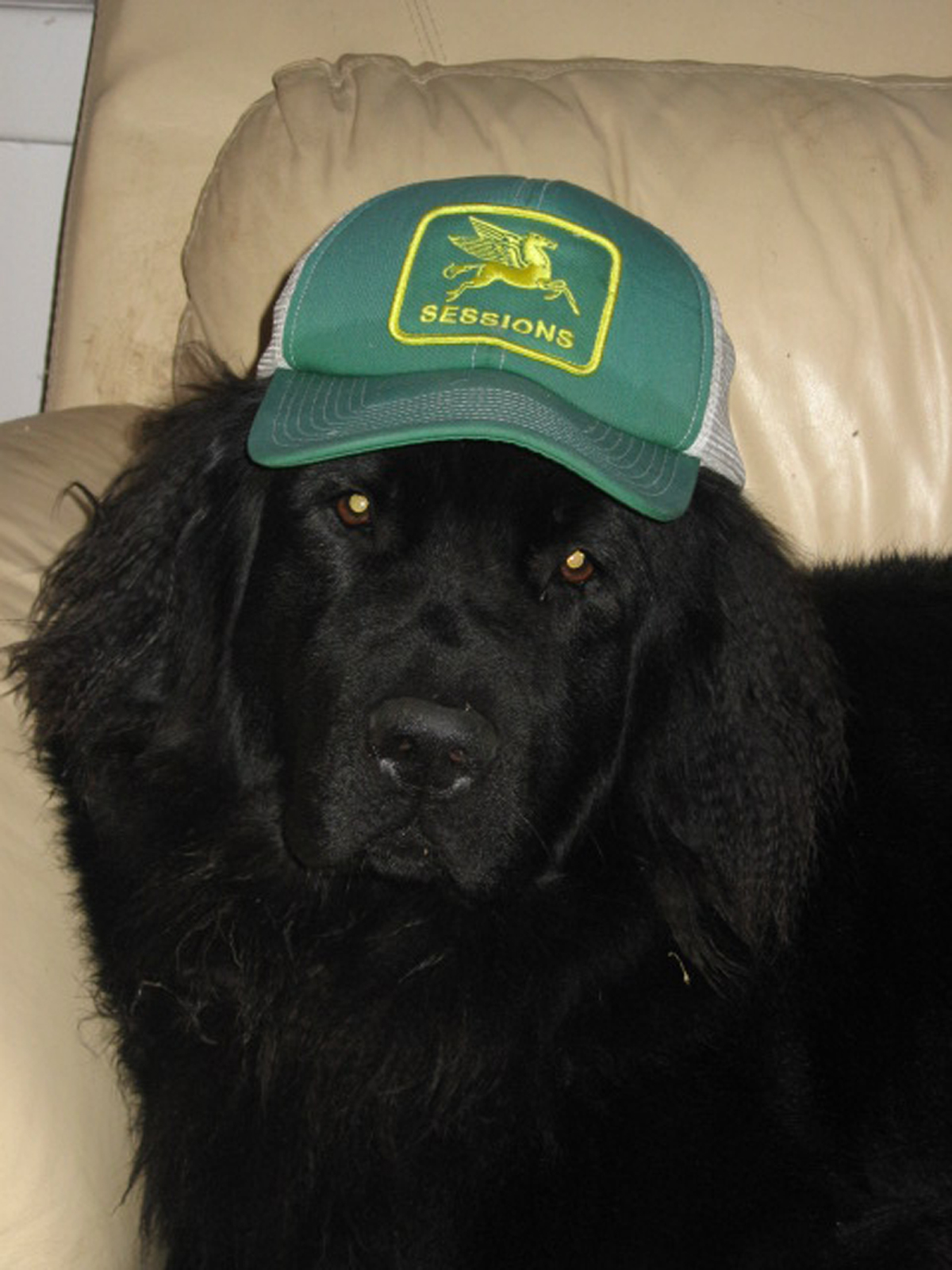 Ayla, the coolest Newfie in town