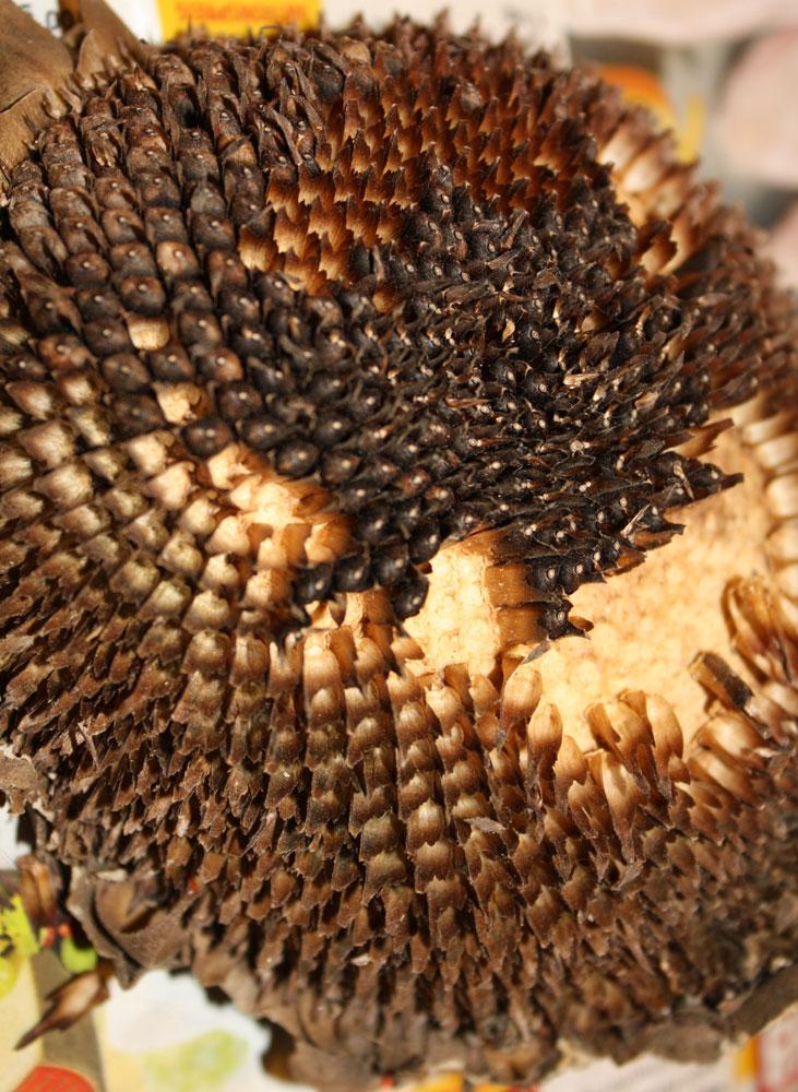 Harvesting Sunflower Seeds Natural Life Link Up No