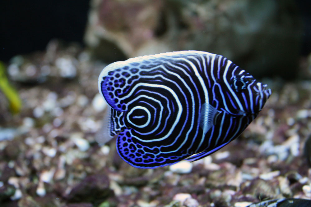 Koran angelfish - photo#1