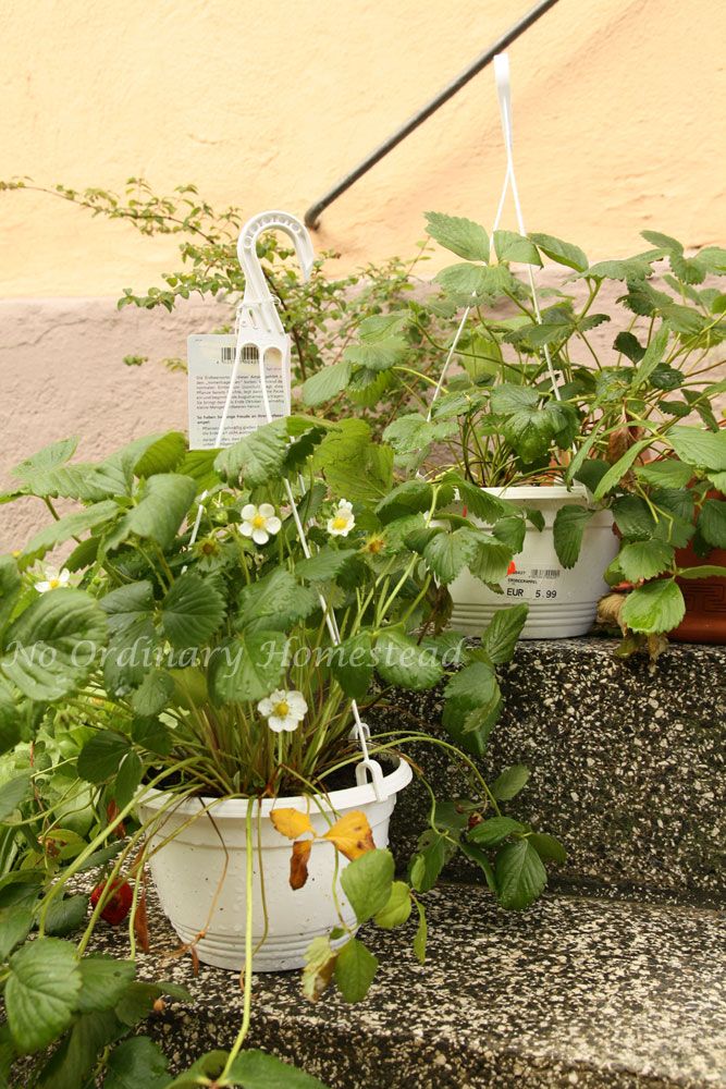 how to get more strawberries off of hanging plants