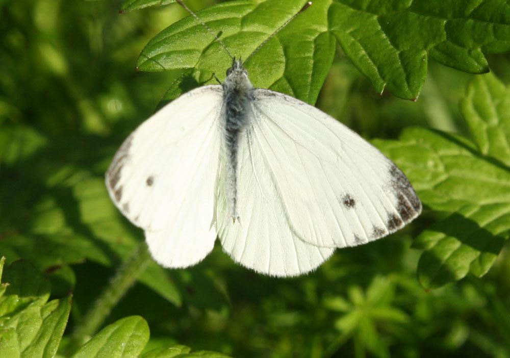 Stella Steevens Butterfly