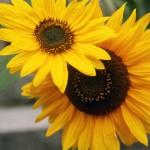Harvesting Sunflower Seeds {Natural Life Link-up}