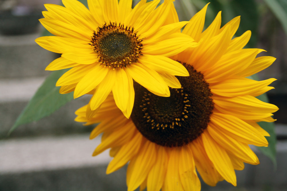 Harvesting Sunflower Seeds {Natural Life Link-up} - No ...