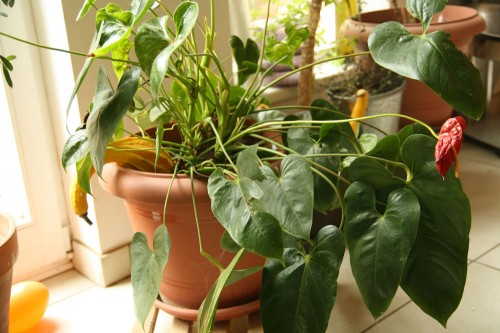 how to get rid of scales on chilly plants