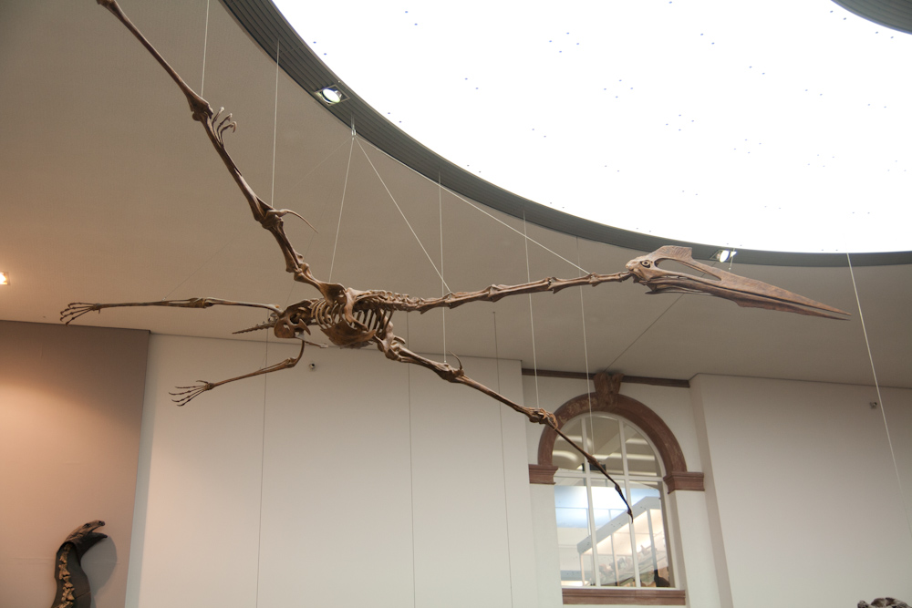 Go Back > Gallery For > Pterodactyl Dinosaur Skeleton