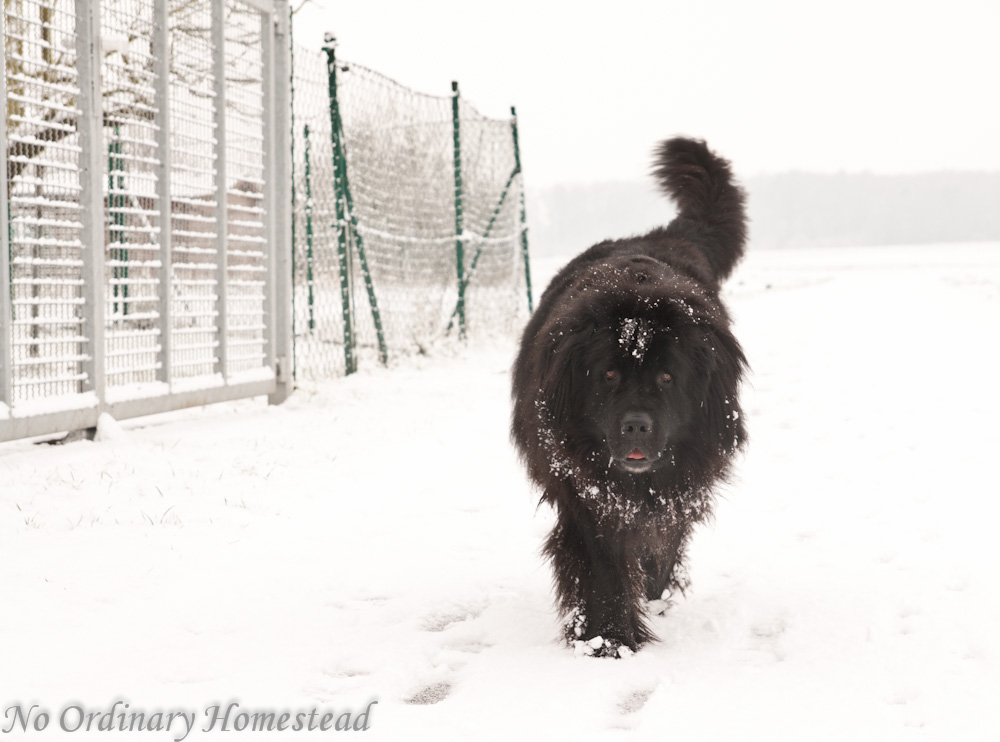 12 Things We've Learned About Owning A Newfie - No Ordinary