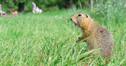 One Of The Gest Pests Ociated With Homegrown Gardens Is Gophers If You Are Having A Hard Time Keeping Away This Summer Read On Below For
